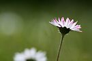 Daisy on the lawn by SylBe