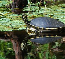 Pensive cooter reflecting by Ben Waggoner