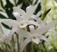 Dendrobium moniliforme by millymuso
