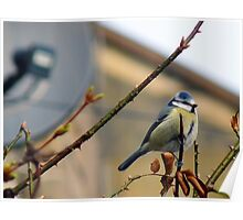 Blue Tit and Satellite Dish Poster