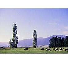 Grazing on the Canterbury Plain Photographic Print