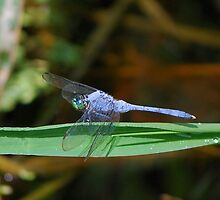 Blue dragonfly on a blade by Ben Waggoner