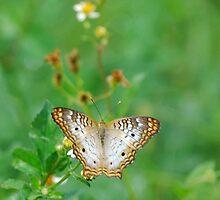 White Peacock Butterfly by Diane Blastorah