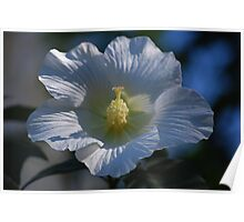 White Hibiscus in the Morning Sun Poster