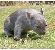 This is harder than it  looks --- Tunna the baby wombat , now 2 Kg and  looking good Photographic Print