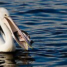 Pelican Feeding with Sea Gull in waiting by Steve Randall