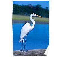 Great White Egret in Formalware Poster
