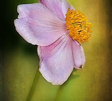Japanese Anemone by zzsuzsa
