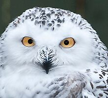 Snowy Owl by Joe Jennelle
