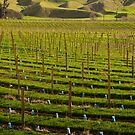 Marlborough Vineyard 2 by Werner Padarin