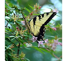 Butterfly and Abelia III Photographic Print
