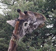 Afternoon nibbles:- Giraffe eats from the tallest branches of a tree by starvingphoto