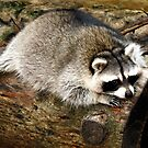 Resting Raccoon by Dawn di Donato