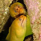 Green Moray Eels - Gymnothorax prasinus by Andrew Trevor-Jones