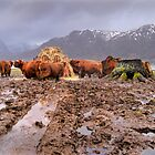 Winter at Torridon with Highland Cattle by Tim Collier