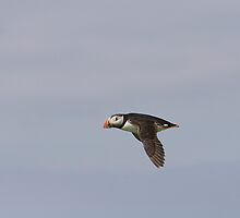 Puffin in flight by Keith Larby