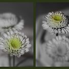 Double Daisies by Julesrules