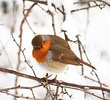 Robin in Winter by Skye Hohmann
