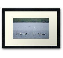 Eider Ducks in Heavy Rain Framed Print