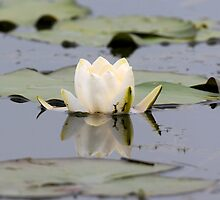 Water Lilly Reflection by Tim Collier
