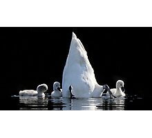 Cygnets and Upended Swan Photographic Print