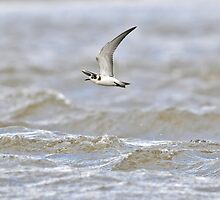 Black Tern Over Rough Water by Tim Collier