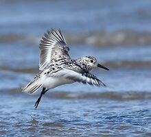One Legged Sanderling by Tim Collier
