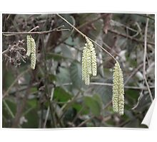 Catkins - first sign of Spring Poster