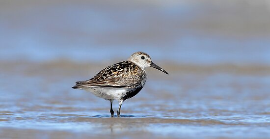 Dunlin by Tim Collier