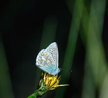 Common Blue by Tim Collier