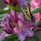 Butterfly on Laurel Bush by Annlynn Ward