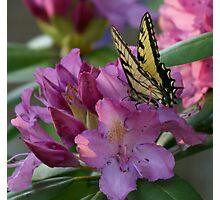 Butterfly on Laurel Bush Photographic Print