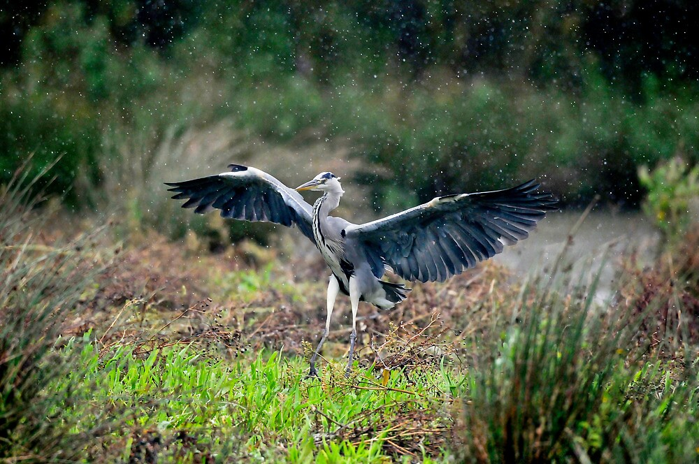 Heron in Rain by Tim Collier