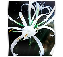 """Floral Fireworks"" - exploding white lily blossoms Poster"