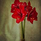 Amaryllis by Nancy Bray