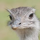 Ostrich, (Struthio camelus) by FoxfireGallery / FloorOne Photography