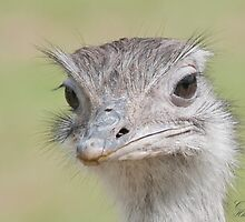 Ostrich, (Struthio camelus) by ©FoxfireGallery / FloorOne Photography