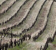 Vineyard lines by solena432