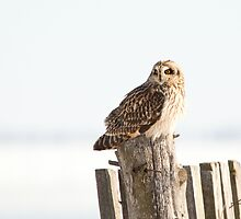 Short Eared Owl by Wayne Wood