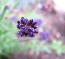 A hit of lavender by MarianBendeth