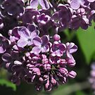Sweet Scented Purple by Tracy Wazny