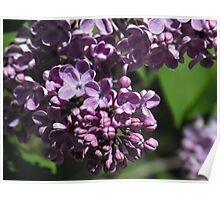 Sweet Scented Purple Poster