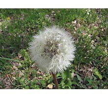Dandelion Weed  Photographic Print