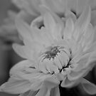Chrysanthemums in black and white  by Margaret Stanton
