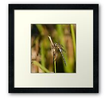 Southern Hawker Dragonfly Framed Print