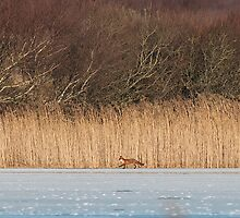 Fox on Ice by Tim Collier