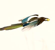 Magpie Colours by Tim Collier