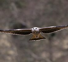 Black Kite, Mid Wales by Tim Collier