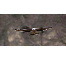 Black Kite, Mid Wales Photographic Print