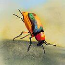 Acrobat Beetle by © Karin Taylor